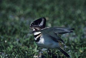 Fatos pássaros killdeer