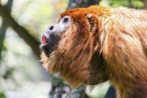 Lista de tipos de macacos na amazônia