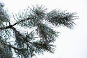 Listar os nomes dos pinheiros