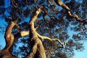Diferentes espécies de árvores de carvalho florida