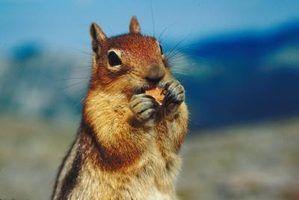 Hábitos de acasalamento dos esquilos