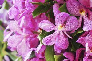 Orquídea cuidados mokara