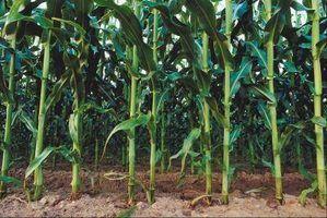 Minhas plantas de milho não crescer de altura
