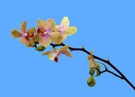 Minhas flores da orquídea estão a murchar