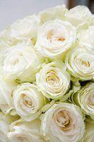 Meus rosas brancas estão transformando-de-rosa