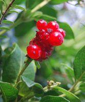 Plantas vining nativas oklahoma