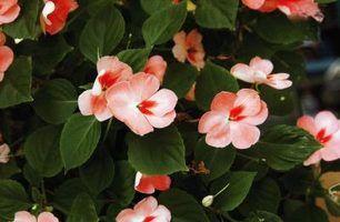 impatiens planta na zona 6 e apreciar as flores vibrantes - e beija-flores.