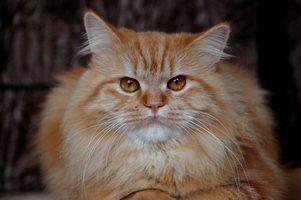 Os aditivos alimentares para gatos para eliminar fezes de odor