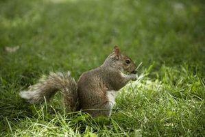 Produtos naturais para se livrar de esquilos