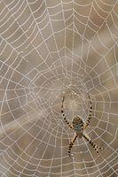 Ervas controle aranha natural
