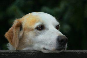 Tratamentos naturais para a erupção cutânea em cães