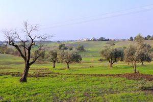 Características da madeira de oliveira
