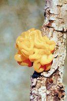 Laranja fungo em árvores