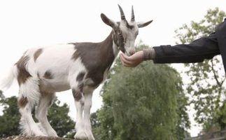 Plantas ornamentais que as cabras não vai comer