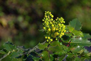 Arbustos noroeste pacífico evergreen
