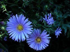 Perenes com flores daisy-like