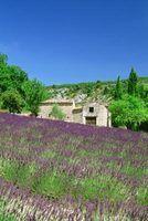 campos de lavanda pode pintar encostas em roxo quando estão em flor.
