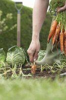 Perlite usa em um jardim vegetal