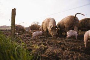 Usos estrume de porco