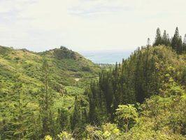 Pinheiros no havaí
