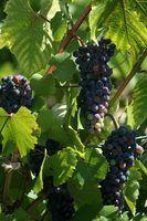 Tipos de vinho pinot