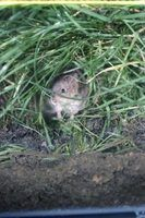 As ratazanas podem ser muito destrutivos em seu jardim, mas eles ganharam`t touch certain plants.
