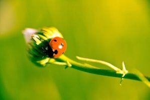 Joaninhas comem as pragas do jardim que podem ser arruinando suas plantas.