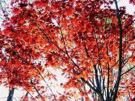 A árvore de bordo vermelha é um nativo de Delaware.