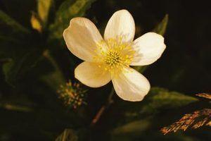 Buttercup é uma erva daninha floração.