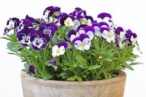 Cuidados pansy potted