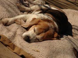 Sinais da gravidez e de trabalho em um cachorro velho