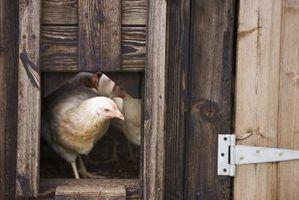 Prós e contras de galinheiros ventilado-túnel