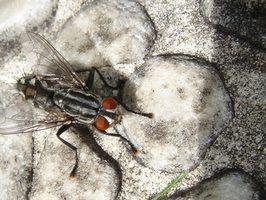Riscos de larvas que comem
