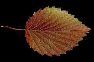 Sombra arbustos amorosos: viburnum