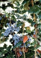 Arbustos e cercas vivas para áreas de sombra
