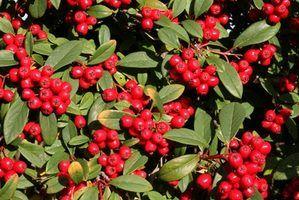 Arbustos nativos para o norte do minnesota