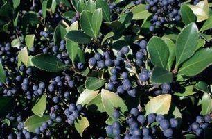 Berry rolamento arbustos