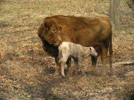 Assina uma vaca está grávida
