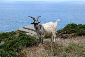 Sinais de cabras desidratados