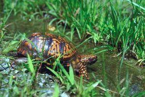 Sinais de parasitas em tartarugas aquáticas