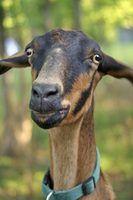 Sinais de parto para as cabras grávidas