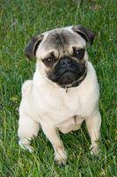 Sinais e sintomas de um cão pug grávida