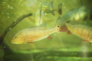 Sinais e sintomas de amônia em tanques de peixes