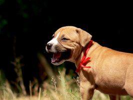 Sinais e sintomas de pneumonia em cachorros