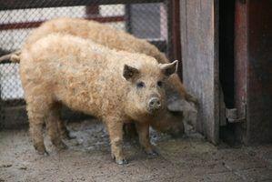 Sinais e sintomas da gripe em porcos