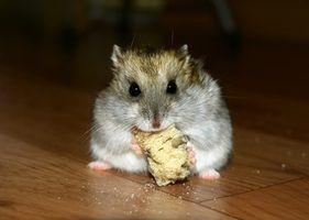 Dormir hábitos de hamsters anão