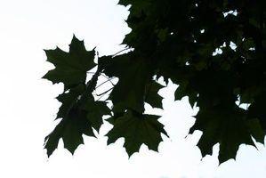 Soluções para os ácaros da árvore de bordo