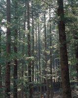 Southern Madeira de pinho amarelo pode vir de uma das várias espécies de pinheiro.