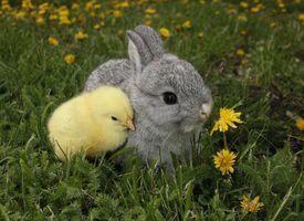 Precauções especiais para criar coelhos e galinhas juntos