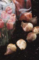 Alergia mola para tulipas